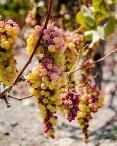 Peruvian pisco grapes, muscat, Italia grapes