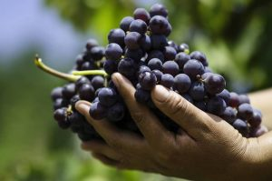 hand harvest, pisco grapes, quebranta, acholado, piscologia, peruvian pisco, craft pisco, craft liquor, craft spirits