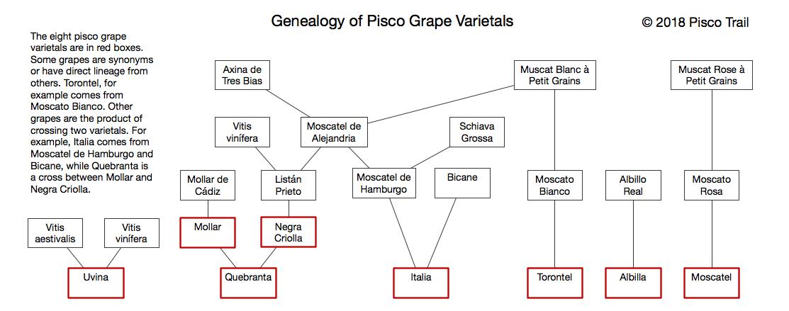 pisco grape varietals, negra criolla, moscatel, peruvian pisco, craft pisco, piscologia, types of pisco grapes, quebranta, acholado