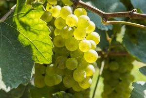 albilla, pisco grapes