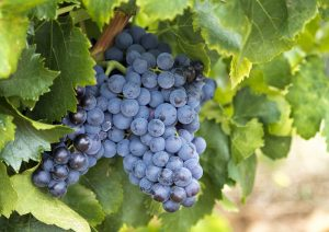 negra criolla, listan prieto, pisco grape