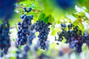 uvina, uvina pisco, uvina grape