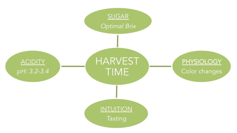 harvest pisco grapes, pis