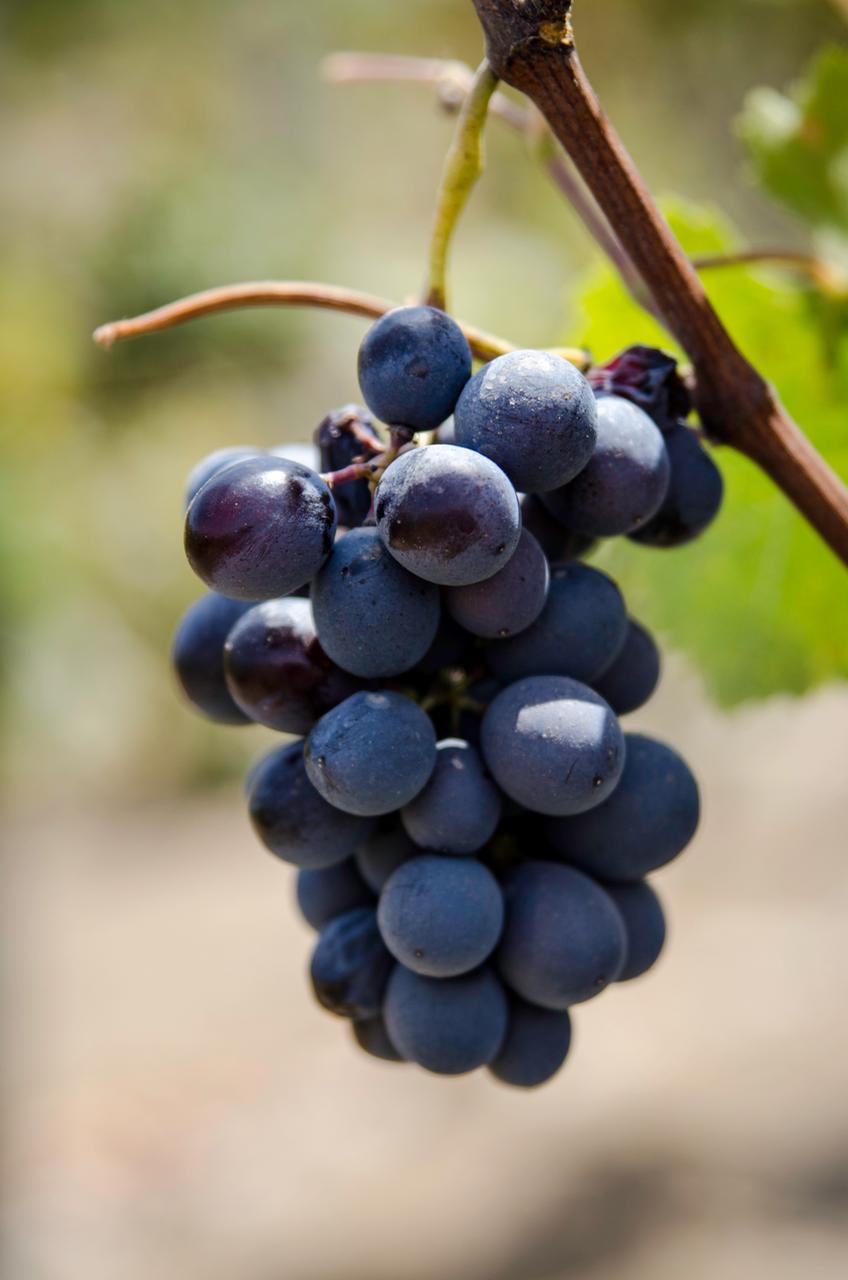 quebranta, pisco, pisco grapes, quebranta most flavorful
