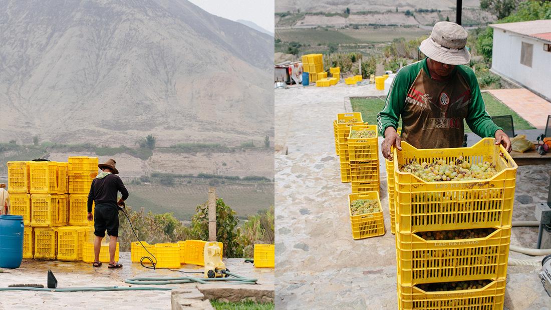 peruvian pisco, harvest