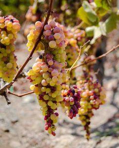 pisco grapes, acholado, quebranta, pisco, peruvian pisco, piscologia, best pisco, uvas pisqueras