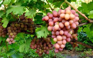 moscatel, muscat. pisco grape